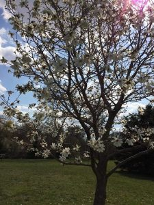 Tree blooming at Haskins Park